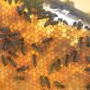 The curios case of the queen bee